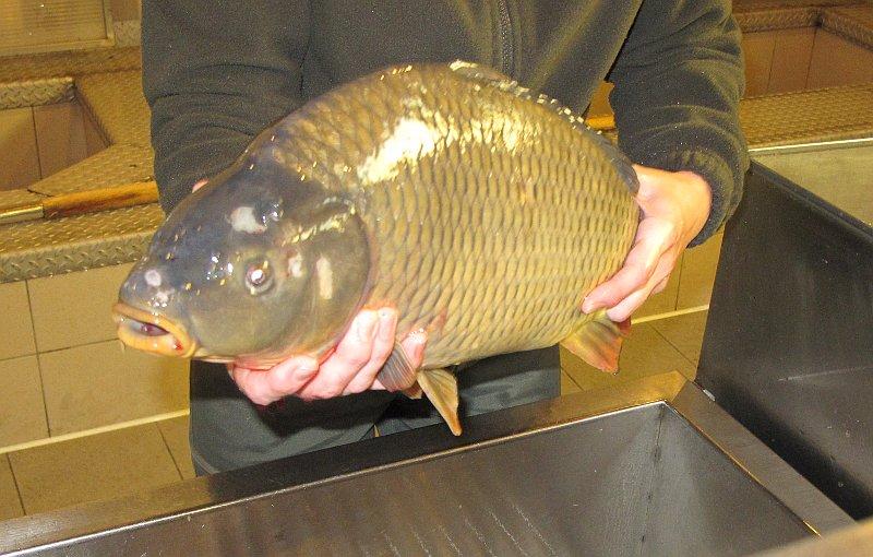 Radio prague a czech christmas feast for The fish radio