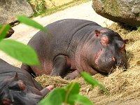 Hippo siesta
