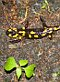 Fire salamander, photo: Miloš Turek