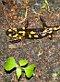 Fire salamander, photo: Miloš Turek