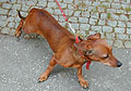 Dachshund, photo: archive of CRo 7 - Radio Prague