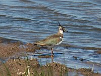 Lapwing, photo: Mirko Thiessen, Creative Commons 2.5