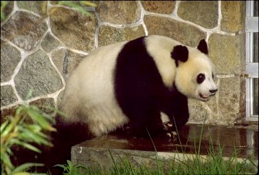Panda, photo: archive of Radio Prague