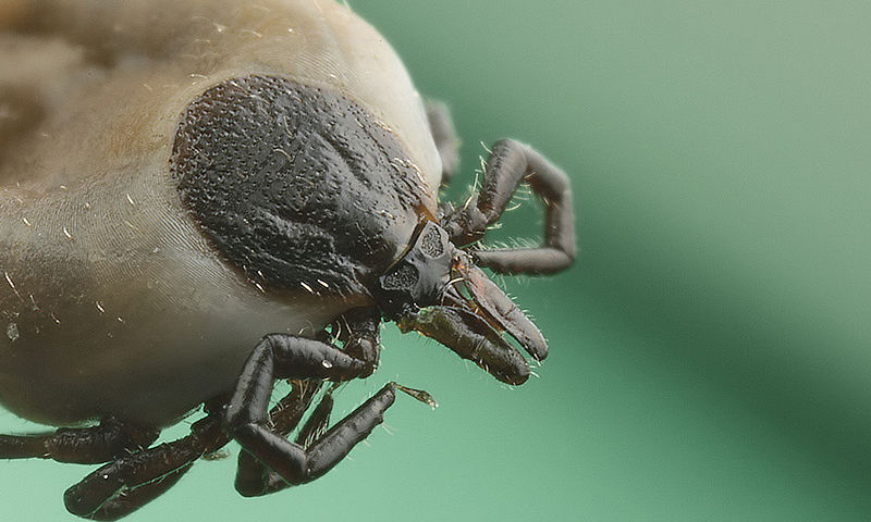 Tick, photo: Richard Bartz, CC BY-SA 2.5