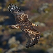 Golden Eagle, photo: Juan Lacruz, Creative Commons 3.0