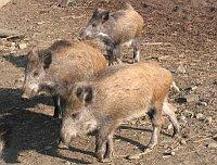 Wild boar, photo: archive of Radio Prague