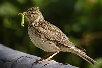 Skylark, photo: Daniel Pettersson, Creative Commons 2.5
