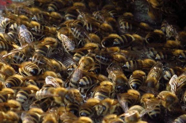 Пчелы в улее, Фото: Кристина Макова, Чешское радио - Радио Прага
