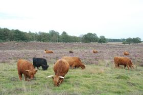 A herd of Scottisch cows, photo: Henk Monster, CC BY 3.0