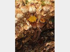 Thismia hexagona, photo: CTK