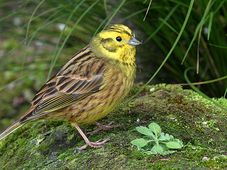 Yellowhammer, photo: Alan Vernon, CC 2.0