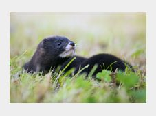 European mink, photo: CTK