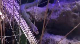 Šírohlavec vpražské zoo, foto: YouTube