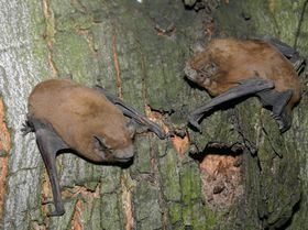 Nyctalus noctula, photo: Pellinger Attila, CC BY 3.0