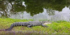 Krokodil in Sarasota (Foto: YouTube)
