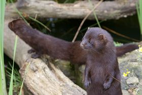 Mink, photo: Marc Evans, Creative Commons 2.0