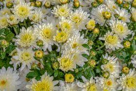 Chrysanthemen (Foto: Couleur, Pixabay / CC0)