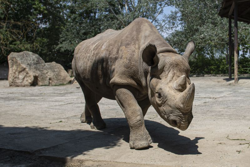 Eastern black rhino, photo: ČTK/David Taneček