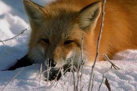 Chytrý jako liška, foto: archivo de Radio Praga