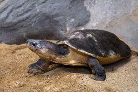 Малазийская гигантская черепаха, фото: Пражский зоопарк