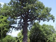 Hromův dub, foto: ČTK