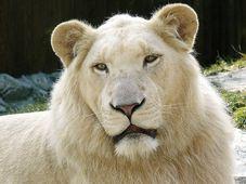 Der weiße Löwe (Foto: Bohuna Mikulicová, Wikimedia CC BY-SA 2.5)