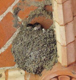 Le nid de l'hirondelle de fenêtre, photo: Claus Ableiter, CC BY-SA 3.0