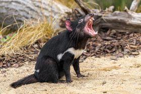 eutelteufel (Foto: Archiv des Prager Zoos)