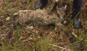 This sheep was killed after a wolf attack, photo: Czech TV