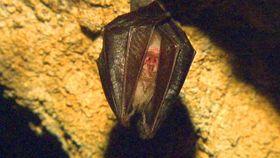 Un murciélago en las Cuevas de Koněprusy, foto: ČT24