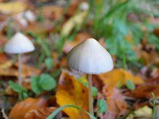 Hongos psilocibios, foto: Hans Braxmeier, Pixabay / CC0
