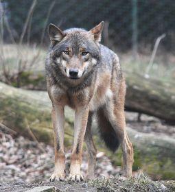 Wolf, photo: Kateřina Hlavatá, Flickr, CC BY 2.0