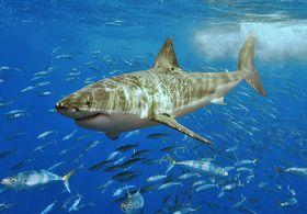 Белая акула, Фото: Terry Goss, licence Creative Commons Attribution-ShareAlike 3.0 Unported