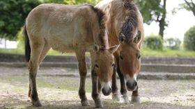 Przewalski-Pferd (Foto: Tomáš Adamec, Archiv des Prager Zoos)