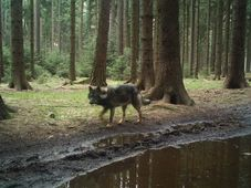 Wolf-dog hybrid in North Bohemia, photo: Archive of Hnutí Duha