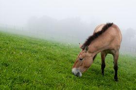 Лошадь Пржевальского, фото: Пражский зоопарк