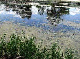 Blue-green algae in water, photo: Barbora Kmentová
