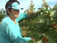 Saisonarbeiterin - brigádnice (Foto: Tschechisches Fernsehen)