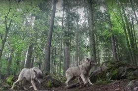 Wolves in North Bohemia, photo: Czech TV