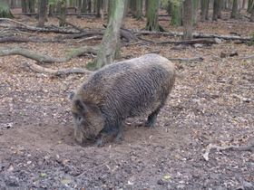 Wild boar, photo: Miloš Turek