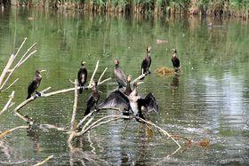 Cormorants, photo: Eva-Maria Kintzel, CC BY 3.0 Unported