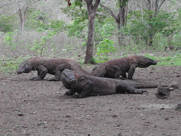 Prague Zoo confirms position as leading breeder of Komodo dragons in