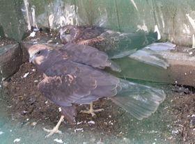 Питомец общества «Защита фауны»