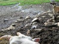 Honit někoho jako nadmutou kozu...