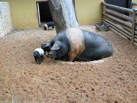 Cerda de la raza de Prestice en el jardín zoológico de Pilsen, foto: Roy147, CC BY 3.0 Unported