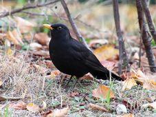 Blackbird, photo: Bernd Marczak, Pixabay / CC0