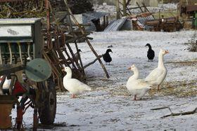 Los aves de corral cerca de  Moravský Krumlov, foto: ČTK