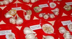 Odrůdy česneku, foto: Eugenie Linková, AKČR