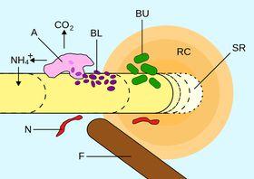 Rhizosphäre (Quelle: Smartse, Wikimedia Commons, CC BY-SA 3.0) - A: bakteriophage Amöbe, BL: energielimitierte Bakterien, BU: nicht energielimitierte Bakterien, RC: wurzelabgeleiteter Kohlenstoff, SR: abgelöste Zellen der Rhizodermis, F: Pilz-Hyphen, N: Fadenwurm