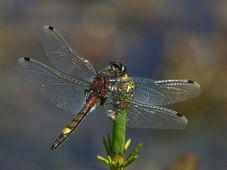 Vážka jasnoskvrnná. foto: Christian Fischer, CC BY-SA 3.0 Unported